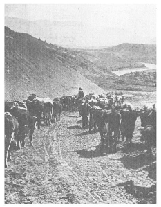 cattle drive - ashcroft